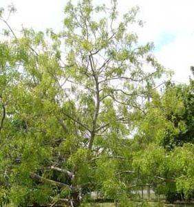 Trade Winds Fruit - Azadirachta indica - Neem, $2.75 (http://www.tradewindsfruit.com/azadirachta-indica-neem-seeds)