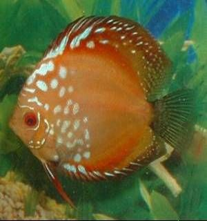 red pigeonblood discus fish picture.