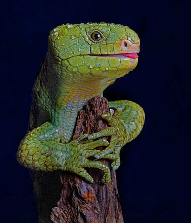 Prehensile Tailed Skink: Cold Blood, Reptiles Amphibians Crustacean, Reptiles Amphibians Fish, Fauna, Corucia Zebrata, Colors Animal, Reptiles Amphib Dragon, Animal Galor, Photo