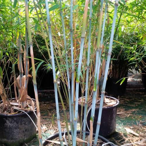 Bambu Fargesia papyrifera blue