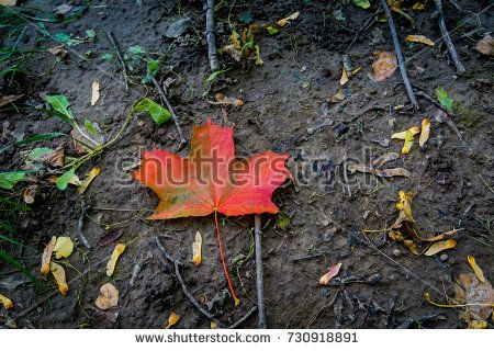 Fallen maple leaf of red color on the ground.