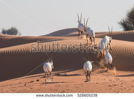 Arabian oryx family in the desert after sunrise. Dubai, United Arab Emirates.