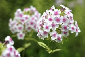 Popular Phlox Flowers: Large and Tall Varieties: Nora Leigh is a variegated garden phlox cultivar.