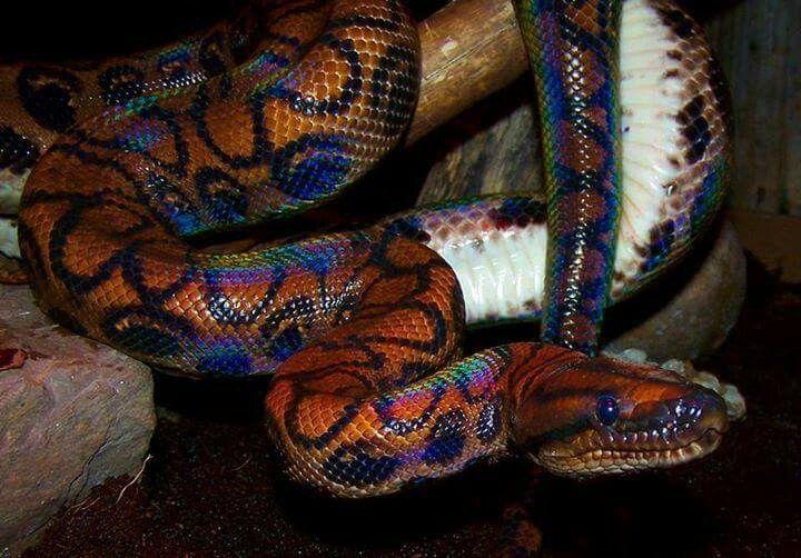 Jibóia arco-íris, da Amazônia, tem escamas com reflexos ...