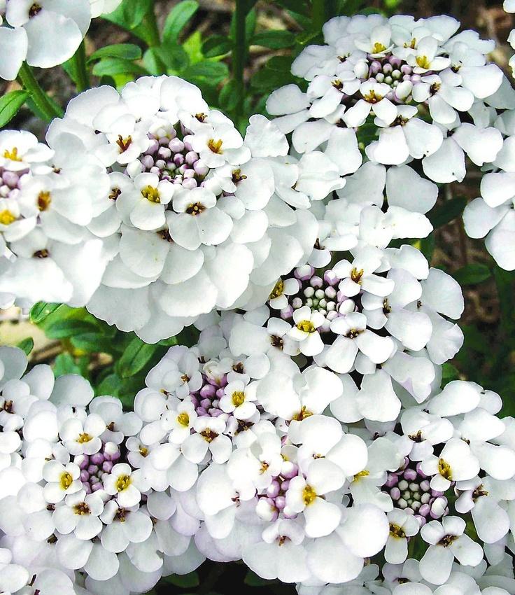 """Iberis 'Masterpiece'    Diese immergrüne Neuzüchtung blüht unermüdlich vom Frühjahr bis zum Herbst! Die großen, weißen Blüten erscheinen in Massen und verwandeln Ihre Beete in ein blühendes Polster. Äußerst pflegeleicht & trockenheitstolerant. (Iberis sempervirens """"Masterpiece"""")"""