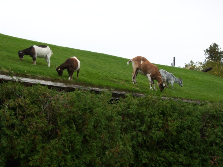 Goats on the roof at Al Johnsons Restaurant in Sister Bay