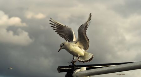 Mouette rieuse ou gourmande  Photo by Magda G. — National Geographic Your Shot