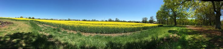 https://flic.kr/p/GbfQwh | 2016 April 12 Canola Fields Panoramic Picture | 2016 April 12 Canola Fields