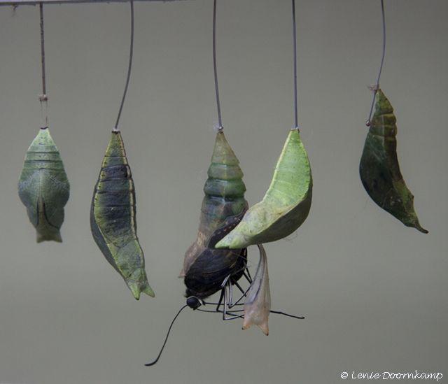 vlinder uit cocon, Exotische soort , in de vlindertuin