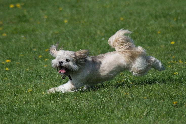 Lhasa Apso | Pictures, Information, and Reviews