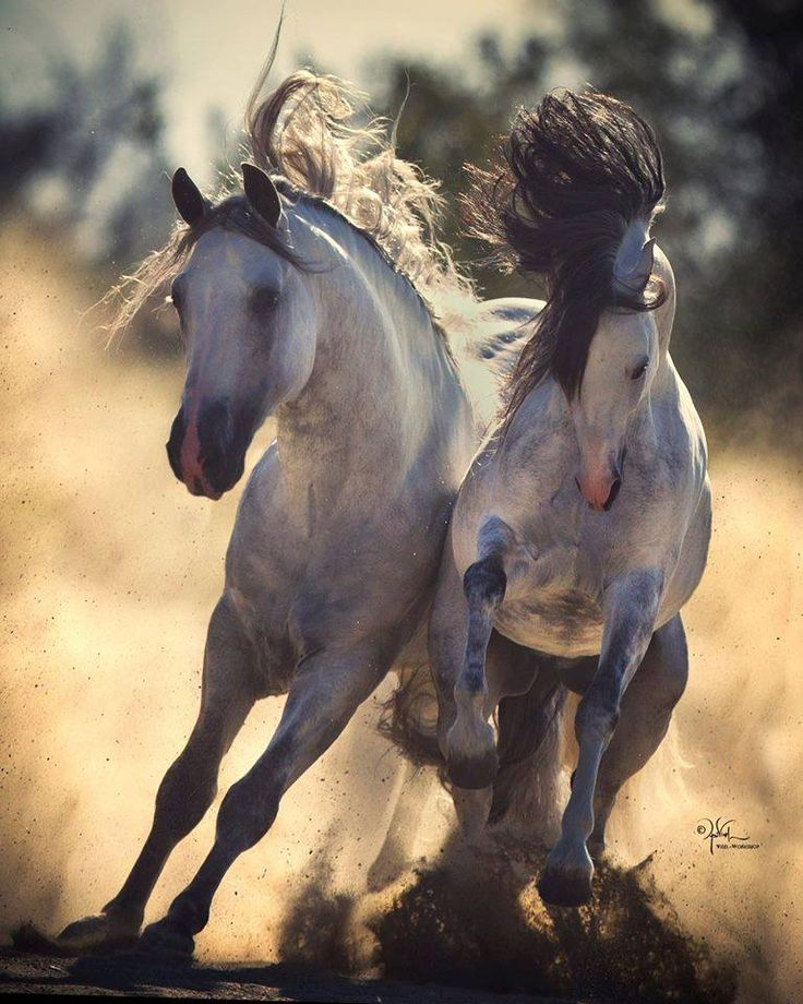 Wild horses running, Poetry in motion. Desert sand kicking up, running neck to neck, almost looks like they are fighting and going to knock each other out. Please also visit www.JustForYouPropheticArt.com for colorful inspirational Art. Thank you so much! Blessings!