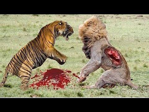 Animais selvagens atacando -caçando suas presas video completo FULL HD