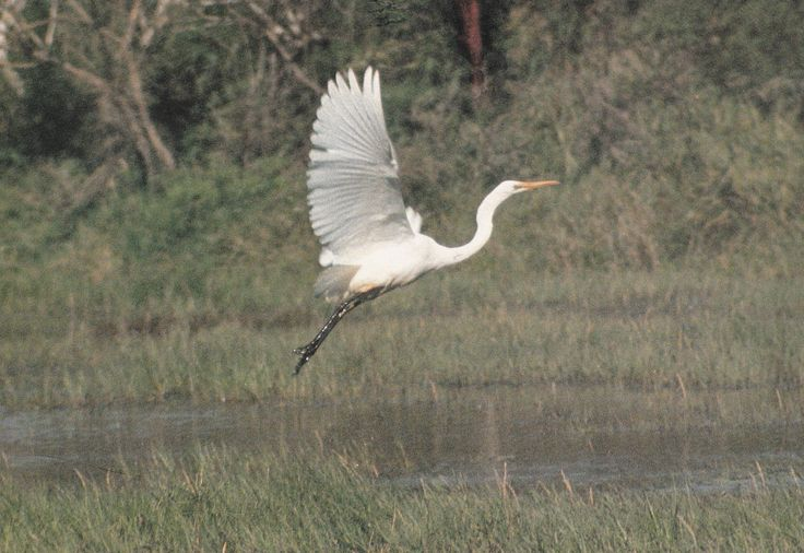 The white heron was very rare in the North and uncommon even in the South. It's feathers were treasured, especially the long tail plumes.