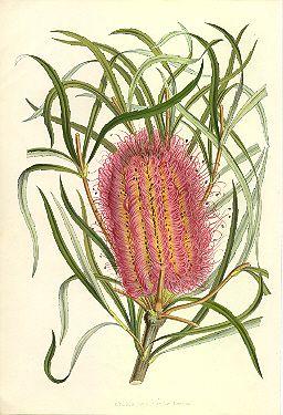 Joseph Banks drawing