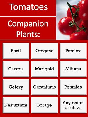 Companion Plants for Tomatoes- These plants help the tomato in a myriad of different ways. Each has its unique benefit to the tomato.