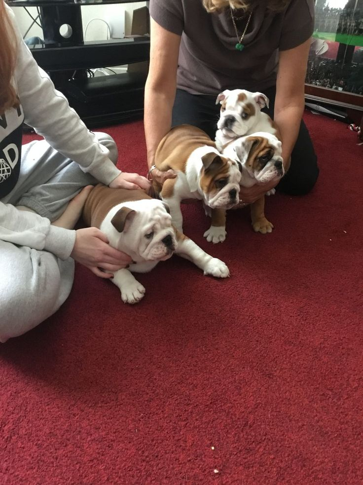 You just can't beat the wrinkles of the Old English Bulldog, so adorable! #oldenglishbulldog #oldenglish #bulldog #bulldogge #oldeenglishbulldoggee #puppy #puppies  https://www.pickapuppy.com/puppies/english-bulldog-puppies-sale/