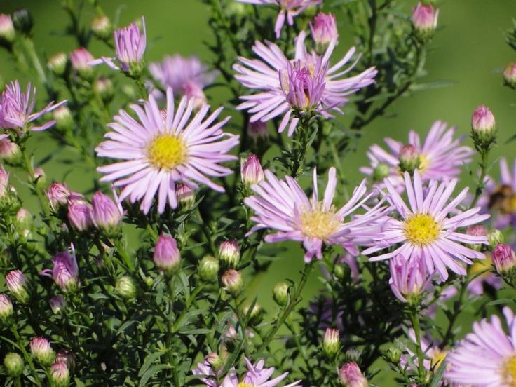 Herfstasters zijn geweldig in de tuin. Met een beetje geluk vanaf februari t/m november bloemen in de tuin!