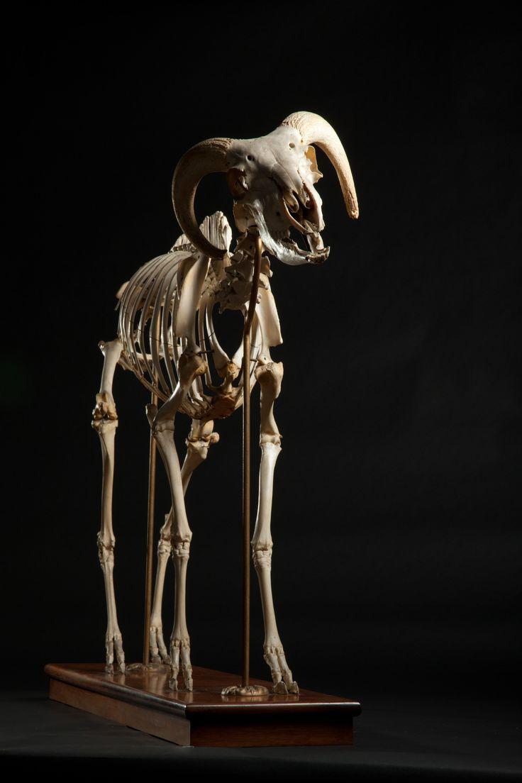 Ram skeleton. Image credit: Josh Franzos/Carnegie Museum of Natural History.