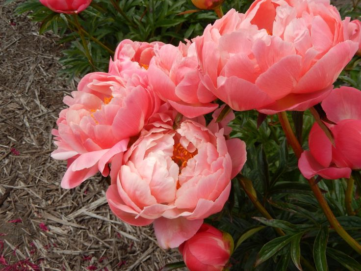 http://blog.ilovepeonies.com/wp-content/uploads/2014/07/CORAL-CHARM-GROUP-TERRIFIC.jpg  Coral Charm Peony, a real beauty!