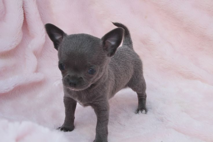 blue chihuahua puppies best 25 blue chihuahua ideas on pinterest teacup 8644