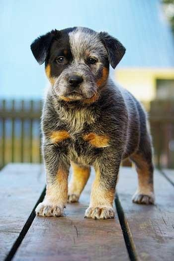 Blue Heeler....this looks just like our Sadie did when she was a puppy