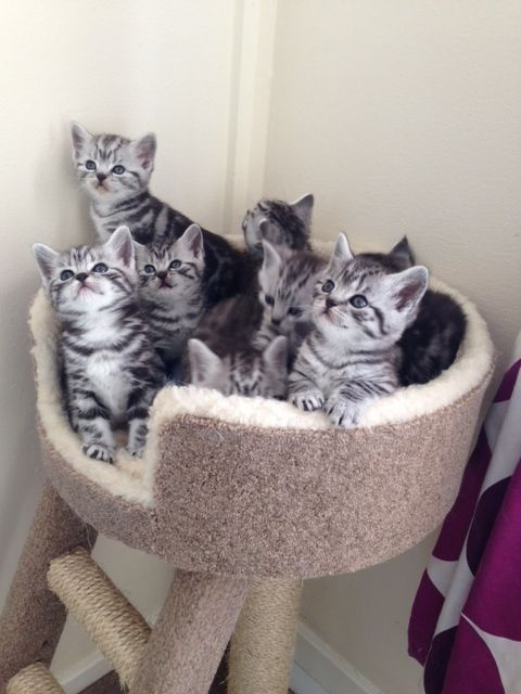 Tigatails British Shorthair Silver Tabbies/spotteds