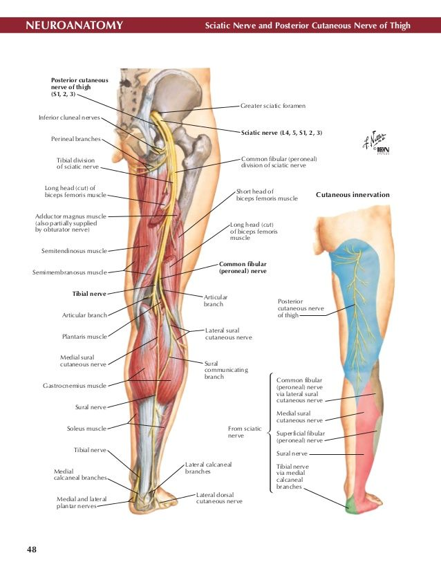 105 best Anatomy images on Pinterest | Human body, Physical therapy ...