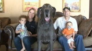 Giant George the Great Dane: World's Tallest Dog Tackles Facebook, YouTube and Even Oprah!, via YouTube.