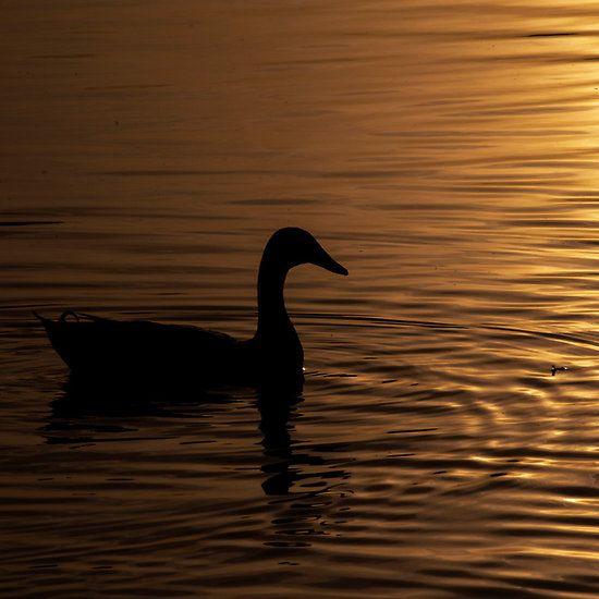 A Duck in the Autumn Sun