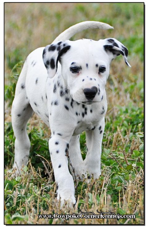 Wyoming ranch raised Dalmatians, happy, healthy and ready to play! If you are interested in these fabulous ranch raised dalmatian puppies for sale here in Wyoming, please give me a call at 307-254-3968. Thank you!