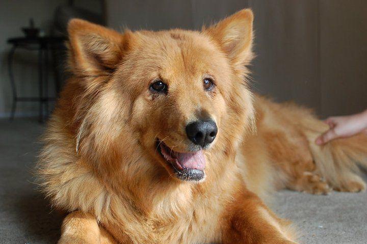 Wilson the Finnish Spitz Corgi Mix | Mix Breed Dog Photos ...