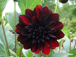 17 best images about flowers plums darks on pinterest. Black Bedroom Furniture Sets. Home Design Ideas