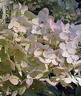 PERENNIAL: Hydrangea, Paniculata Unique Full/Part sun