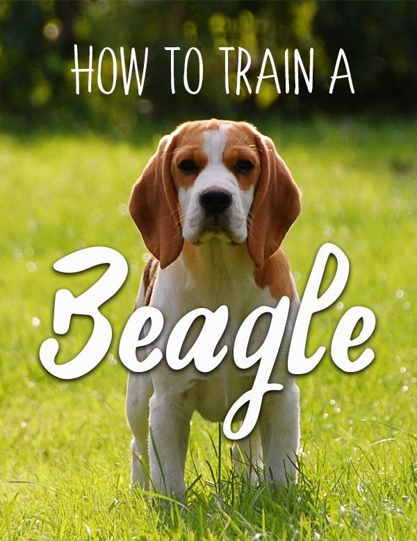 Detailed Instructions And Tips For Beagle Puppy Training Read