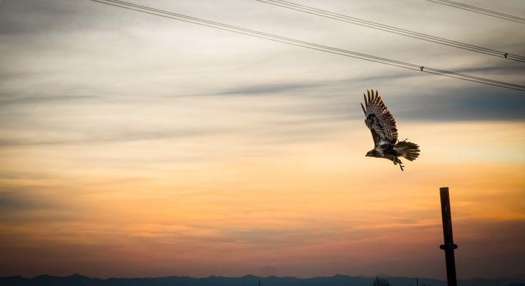 Libertà - Poiana - Buzzard