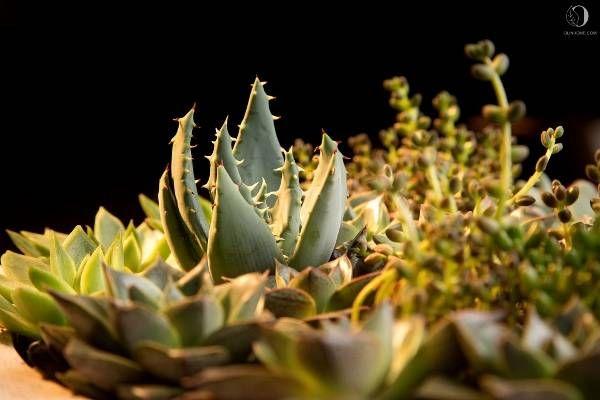В композиции Tropical succulent три вида суккулентов: алоэ, седум, эхеверия. Неприхотливые комнатные растения в авторской композиции с уникальным кашпо.