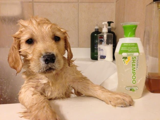 The 100 Most Important Puppy Photos Of All Time – 65. The Golden Who Just Got His First Bath; THIS IS THE CUTEST HYGIENE HAS EVER LOOKED. http://www.pindoggy.com/pin/the-100-most-important-puppy-photos-of-all-time-65-the-golden-who-just-got-his-first-bath-this-is-the-cutest-hygiene-has-ever-looked/