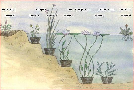 Mocsári növények széles választéka: www.aquapet.hu