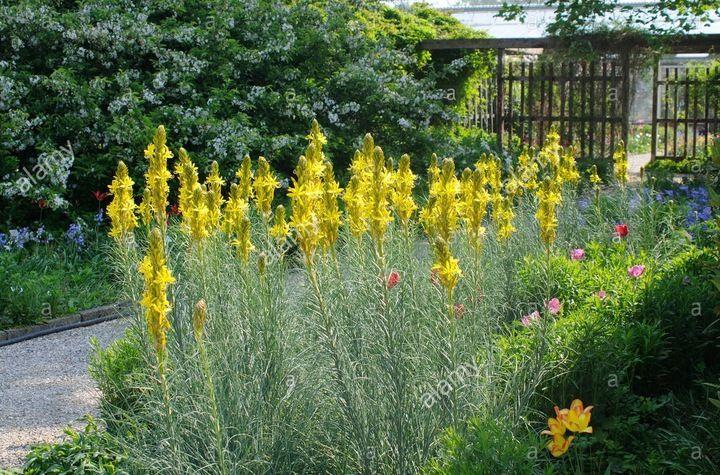 Zlotnica Zolta Pachnaca Miododajna Sadzonki 7869666708 Oficjalne Archiwum Allegro Plants Farmland Outdoor