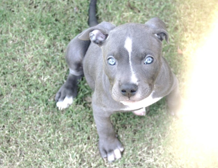 blue nose pitbull puppy