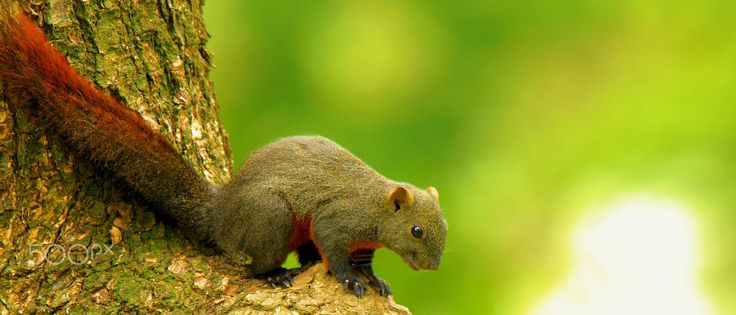 The red-tailed squirrel (Sciurus granatensis) is a tree squirrel in the genus Sciurus endemic to Central and South America. It is found in Colombia, Costa Rica, Ecuador, Panama, Trinidad and Tobago, and Venezuela. From Wiki