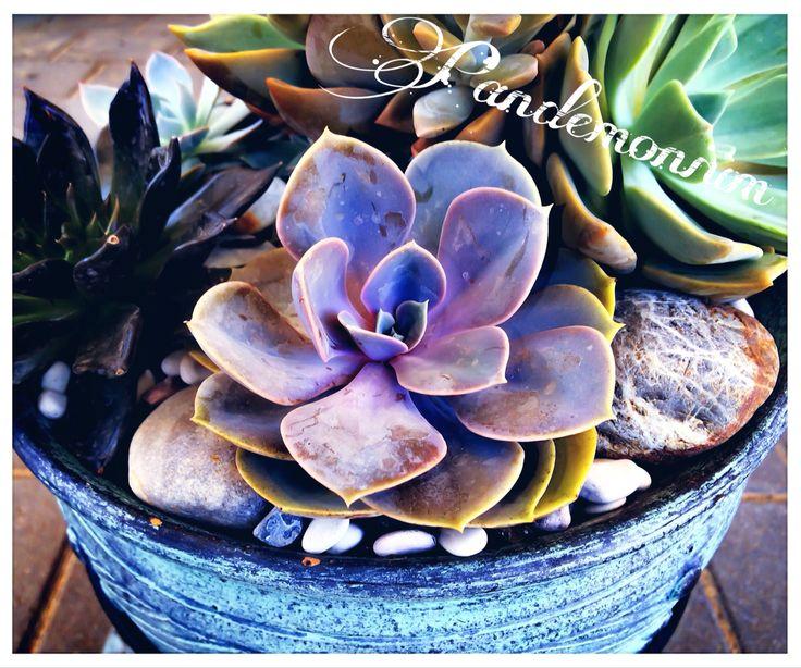 Succulent PVN