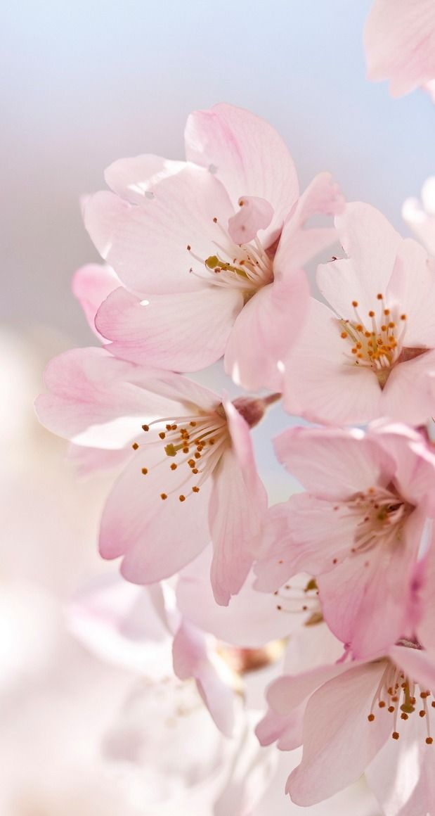 Cherry blossoms... by *yumi* on flickr