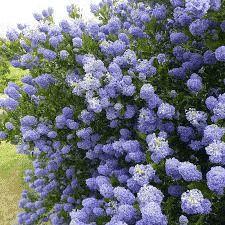 Le Céanothe 'Skylark' est un bel arbuste persistant buissonnant, très érigé. On aime son abondante floraison bleue au printemps, au parfum de miel. On plante la Céanothe 'Skylark' en massifs, en haies. en bord de mer !Comment tailller la 'Cénothe Skylark'Les fleurs apparaissent sur bois d'un an, il ne faut donc pas tailler tous les ans. Si