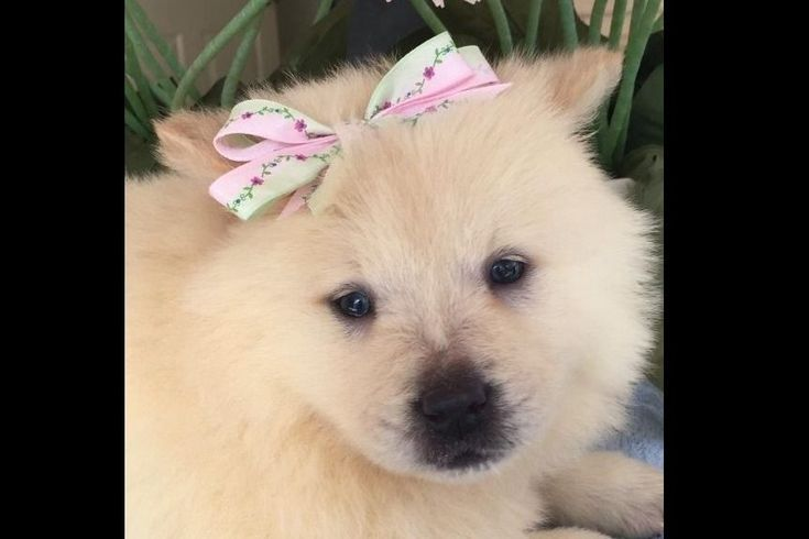 Geri Mcghee Kennels Has Chow Chow Puppies For Sale In Lindale Tx