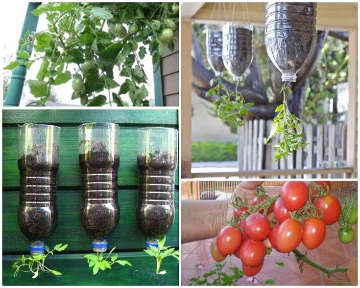 Kdo by neměl rád rajčata? Kromě toho, že jsou chutná, obsahují hodně vitamínu C a lykopenu, který posiluje náš imunitní systém a předchází různým onemocněním. Lykopen je vzácný antioxidant, který dává rajčatům červenou barvu. Nachází se také v mrkvi, guave, papáji a v červeném melounu. Jak ovlivňuje lykopen z rajčat naše tělo Tento silný antioxidant …