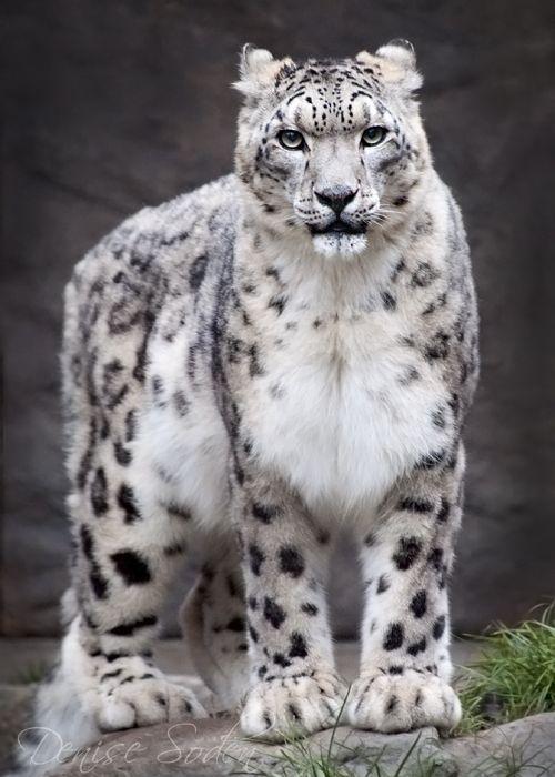 My favorite Big cat!!! Snow Leopard - photograph by Denise Soden