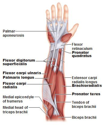 Superficial anterior muscles of the forearm.  UNderstanding the anatomy of the carpal tunnel. -West Bay Chiropractic Clinic, Largo, FL    (727) 584-5737    www.mylargochiropractor.com