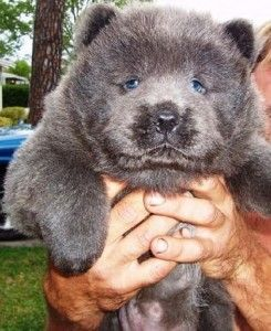 chow chow puppies for sale in florida