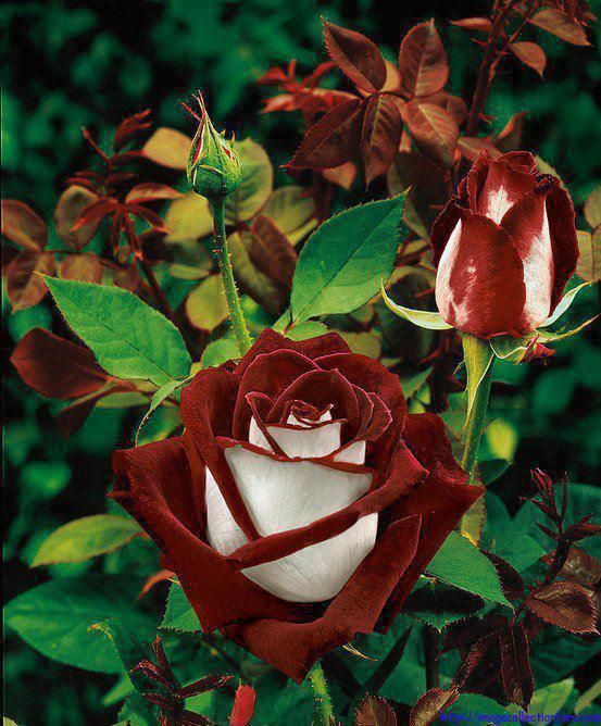 Red Hybrid Tea rose - velvet red with white satin reverse, very large double bloom